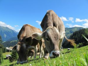 Krava Trava